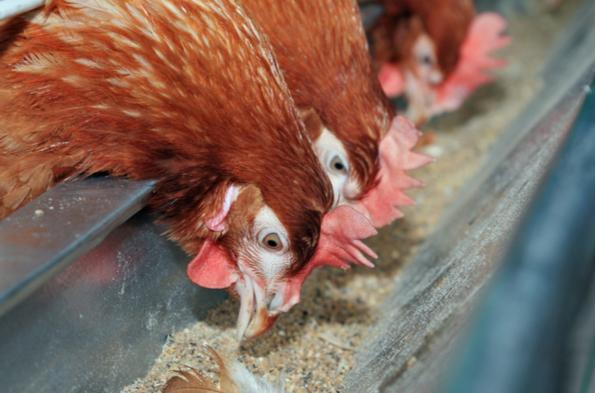 CONTROL DE CALIDAD EN ALIMENTO PARA ANIMALES DE GRANJA